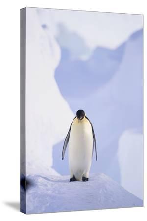 Emperor Penguin-DLILLC-Stretched Canvas Print