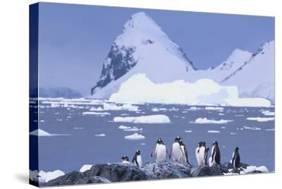 Gentoo Penguin-DLILLC-Stretched Canvas Print