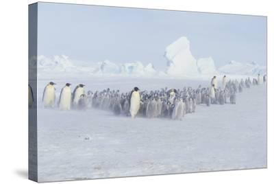 Emperor Penguins and Offspring-DLILLC-Stretched Canvas Print
