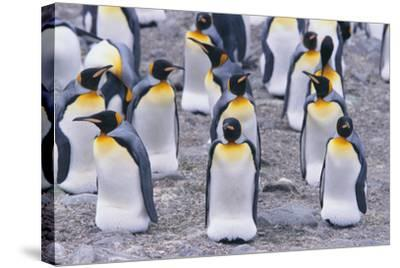 King Penguin-DLILLC-Stretched Canvas Print