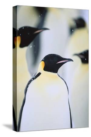 Emperor Penguins in the Snow-DLILLC-Stretched Canvas Print