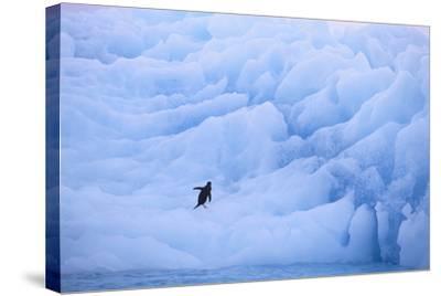 Adelie Penguin-DLILLC-Stretched Canvas Print