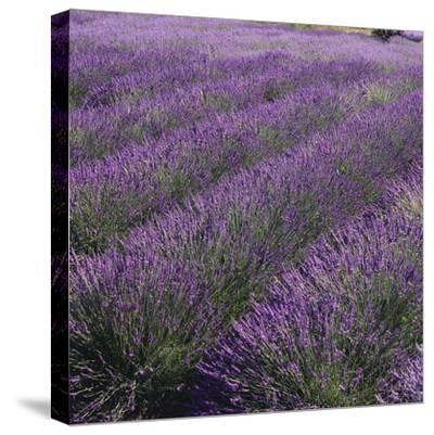 Lavender Fields-DLILLC-Stretched Canvas Print