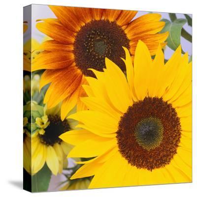 Sunflowers-DLILLC-Stretched Canvas Print