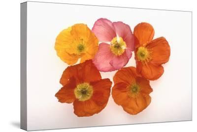 Poppy-DLILLC-Stretched Canvas Print