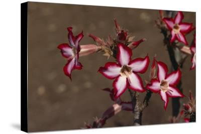 Impala Lily-DLILLC-Stretched Canvas Print