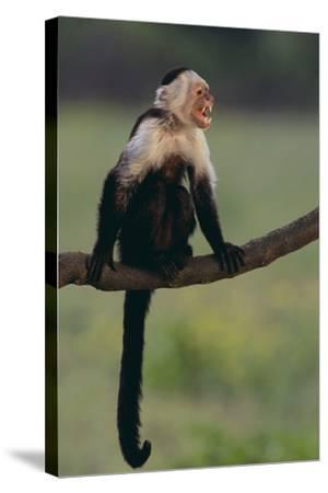 White-Faced Capuchin-DLILLC-Stretched Canvas Print