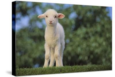 Whitefaced Lamb in the Pasture-DLILLC-Stretched Canvas Print
