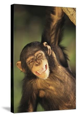 Happy Chimpanzee-DLILLC-Stretched Canvas Print