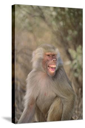 Hamadryas Baboon Baring Teeth-DLILLC-Stretched Canvas Print