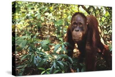 Orangutan-DLILLC-Stretched Canvas Print