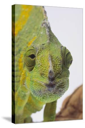 Meller's Chameleon-DLILLC-Stretched Canvas Print