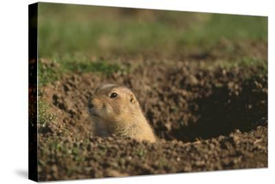 Black-Tailed Prairie Dog Peeking out of Den-DLILLC-Stretched Canvas Print