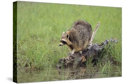 Raccoon-DLILLC-Stretched Canvas Print