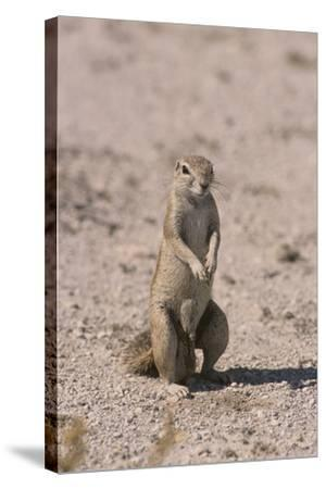 Ground Squirrel Standing Up-DLILLC-Stretched Canvas Print