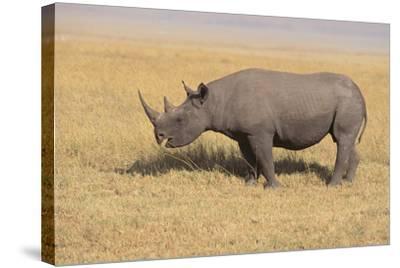 Black Rhinoceros-DLILLC-Stretched Canvas Print