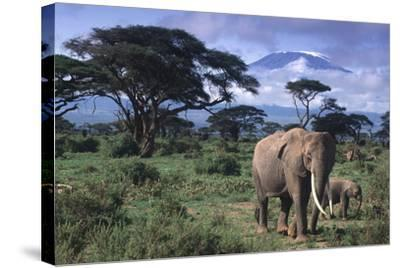 Elephant and Calf in Amboseli National Park-DLILLC-Stretched Canvas Print