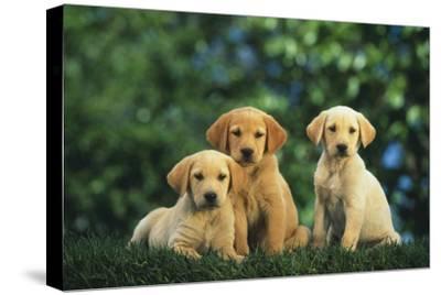Yellow Lab Puppies-DLILLC-Stretched Canvas Print