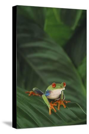 Red-Eyed Tree Frog on Leaf-DLILLC-Stretched Canvas Print
