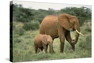 African Elephant with Calf-DLILLC-Stretched Canvas Print