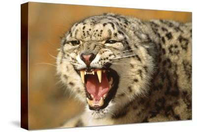 Snow Leopard Snarling-DLILLC-Stretched Canvas Print