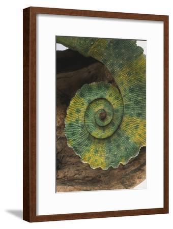 Chameleon Tail-DLILLC-Framed Premium Photographic Print