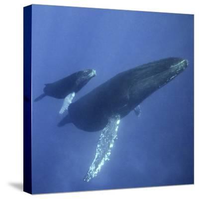Humpback Mother and Calf-DLILLC-Stretched Canvas Print