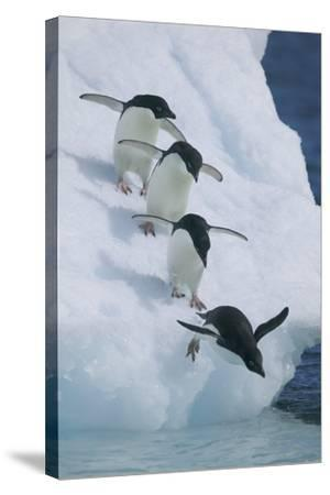 Adelie Penguins-DLILLC-Stretched Canvas Print
