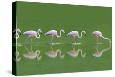 Flamingoes-DLILLC-Stretched Canvas Print