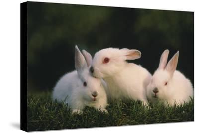 Three White Rabbits-DLILLC-Stretched Canvas Print