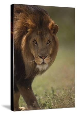 Male Lion-DLILLC-Stretched Canvas Print