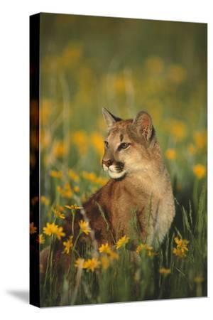 Mountain Lion Sitting in Wildflowers-DLILLC-Stretched Canvas Print