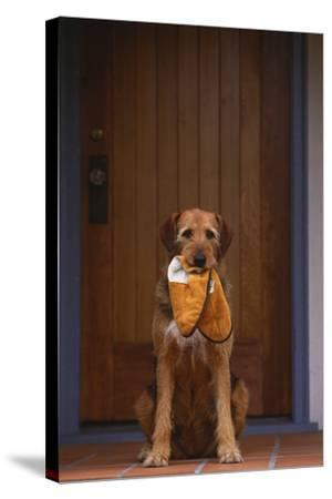 Airedale Mix with Slippers in Mouth-DLILLC-Stretched Canvas Print