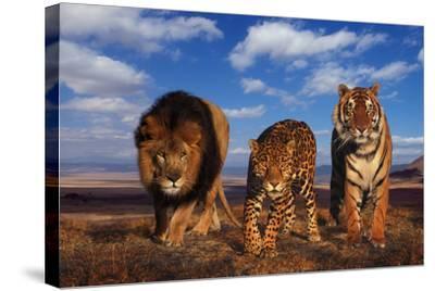 Lion, Jaguar, and Tiger-DLILLC-Stretched Canvas Print