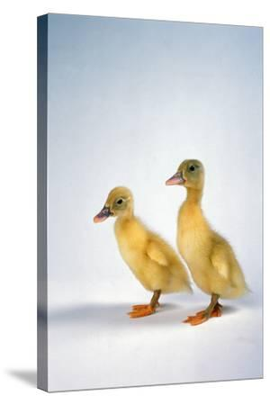 Domestic Ducklings-DLILLC-Stretched Canvas Print