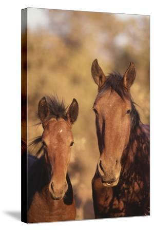 Wild Horse and Colt-DLILLC-Stretched Canvas Print
