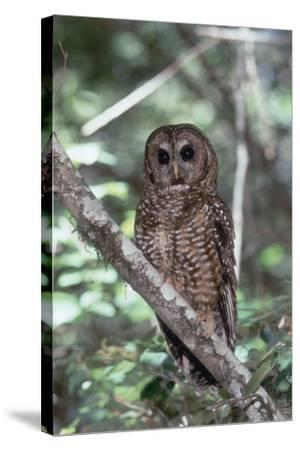 Northern Spotted Owl-DLILLC-Stretched Canvas Print