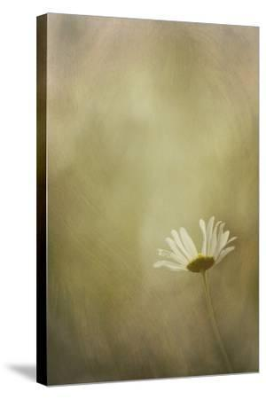 Daisy in the Light-Kathleen Clemons-Stretched Canvas Print