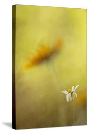 Tiny Daisy-Kathleen Clemons-Stretched Canvas Print