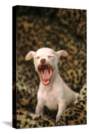 Sleepy Chihuahua Puppy-DLILLC-Stretched Canvas Print