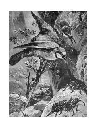 Bee-Eaters or Bee Eaters 1898-Chris Hellier-Framed Giclee Print