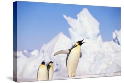 Emperor Penguin Calling-DLILLC-Stretched Canvas Print