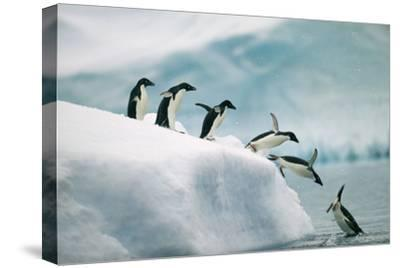 Penguins Jumping into Ocean-DLILLC-Stretched Canvas Print