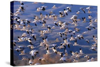 Flock of Snow Geese in Flight-DLILLC-Stretched Canvas Print