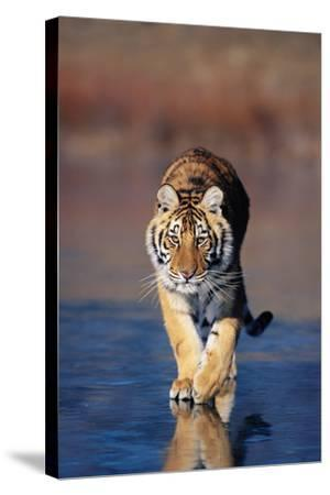 Tiger Walking on Wet Surface-DLILLC-Stretched Canvas Print