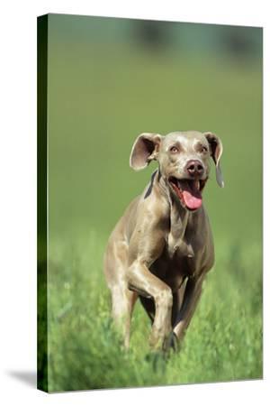 Dog Racing through Grass-DLILLC-Stretched Canvas Print