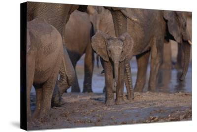 Young and Adult African Elephants-DLILLC-Stretched Canvas Print