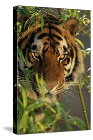Bengal Tiger behind Bamboo-DLILLC-Stretched Canvas Print
