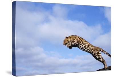 Leopard Jumping-DLILLC-Stretched Canvas Print