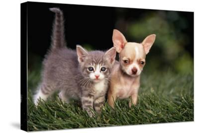 Kitten and Chihuahua Puppy-DLILLC-Stretched Canvas Print